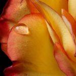 Apa de trandafiri ajuta si in procesul de slabire