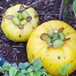 garcinia cambogia planta
