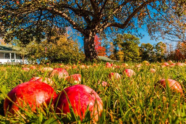Cura de slabire cu mere in 7 zile